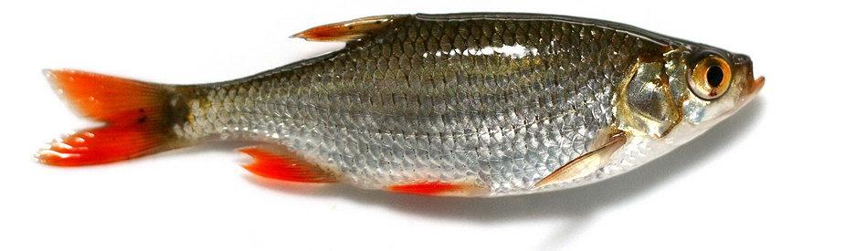 где клюет рыба в алтайском крае